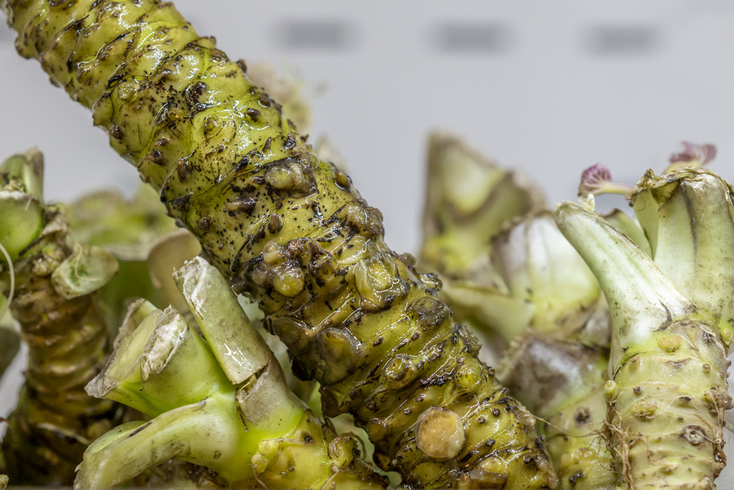 Why Japanese Wasabi Farms Are So Hot Right Now